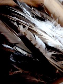 Les plumes de mouettes, corbeau, goéland, canard, pie, geai ...
